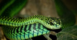 A boomslang seeking prey. (Image: William Warby, London, England courtesy Wikimedia Commons)
