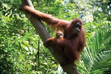 Orangutans are losing their natural habitat to oil palm plantations.