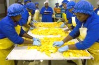 Workers place freshly sliced mangoes on drying trays at Bavaria fruit farm in Limpopo province. (Images: MediaClubSouthAfrica.com. For more free photos, visit the )