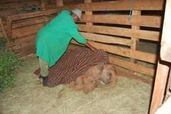 Orwa the adopted elephant