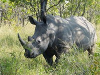 White rhino in the Kruger National Park. (Image: Esculapio, via Wikimedia Commons)