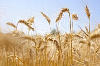 SA Grains: Grains up on CBoT and rain concerns