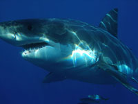 Great White population declines