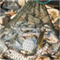 Aquaculture feeds world appetite for seafood