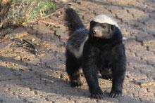 Johannesburg Zoo's live tweeting badger fires world's imagination