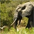 Latest conflict resource: poachers on the prowl for ivory