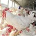 Poultry producers under pressure on rising maize prices
