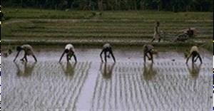 Sierra Leone: nursing agriculture back to health