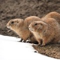 Why your brand shouldn't act like an Arctic ground squirrel