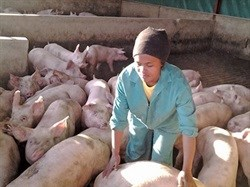 Eclesia Pele tends to the pigs.The piggery's feed and other input bills come to about R58,000 per week.