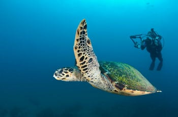 Turtle recall... a magical experience up close (but not too close - you should never intrude) with these gentle creatures is on the cards on one of your dives.