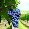 Wine industry could create 100,000 jobs in a decade: VinPro