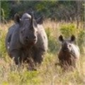 Continued action needed to address rhino poaching