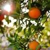 Bhisho juices R21m in citrus exports