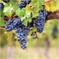 WWF supports Integrated Production of Wine scheme