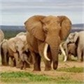Poachers kill half Mozambique's elephants in five years: survey