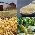 'Dependency' is the trend in South Africa's rice industry