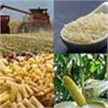 Behind the curve: SA's maize industry woes