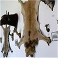 Anger as airline lifts ban on hunting trophies