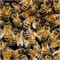 Bee disease decimates stock in CT