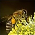 Honey bee forage plants: what you can do to help our honey bees
