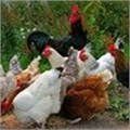 Poultry health critical to global food security