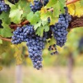 French winemakers hunt for climate change-resistant grape