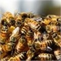 Act now to protect Western Cape's bees