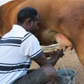 Drought could milk indebted farmers dry