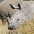 National rhino horn trade remains legal in SA