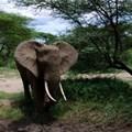 IFAW welcomes Malawi's burning of 781 elephant tusks