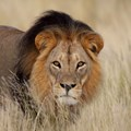 #TBDay: Kruger lions threatened by TB