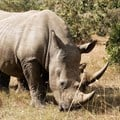 How tiger population growth offers hope for rhino