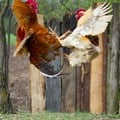 Feathers fly in chicken war