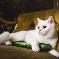 Cats versus cucumbers