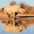 Moratorium on rhino horn trade reinstated
