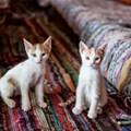 Cats selling carpets. © Nailia Schwarz –