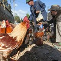 FAO calls for increased vigilance as avian influenza virus H5N1 advances
