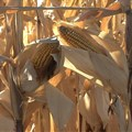 Drought leads SA to import US maize for the first time since 2004