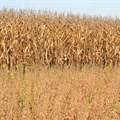 Maize crop estimate rises slightly