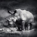'Vietnam must tackle rhino horn trade or face sanctions' - WWF