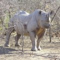 Rhino horn and conservation: to trade or not to trade, that is the question