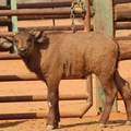 #InnovationMonth: Cape buffalo conceived through IVF