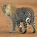 South African documentary on Caucasian Leopard airs on Nat Geo Wild in December