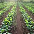 TRB warns farmers of new destructive pest
