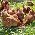 Dti deals with poultry imports concerns