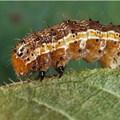 Canadian Biodiversity Information Facility via  - Fall armyworm