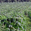 sarangib via  - Cassava
