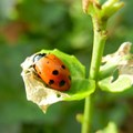 Ladybugs stop pests from eating our food and destroying crops. Flickr/Inhabitat