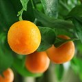 Juicy market for SA citrus